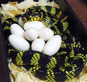 serpent_des_mangroves_boiga_dendrophila_latifasciata_1