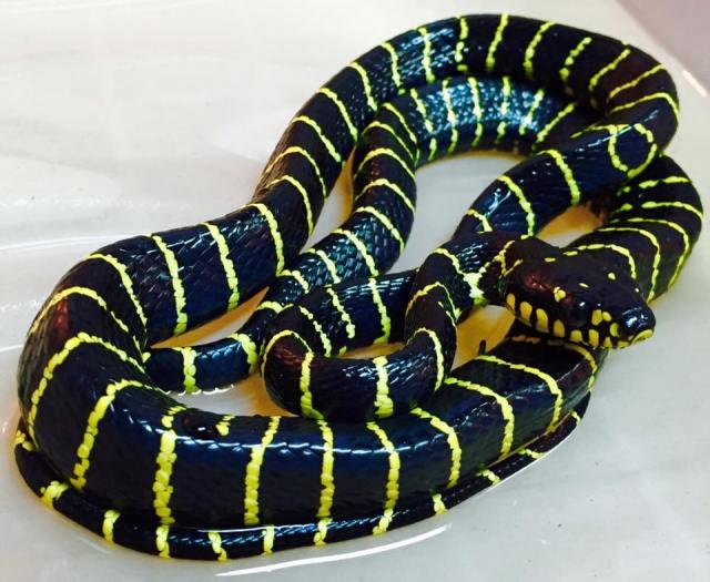 serpent_des_mangroves_boiga_dendrophila_multicincta_2