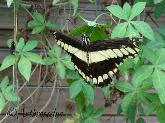 tropique_du_papillon_blog_arthropodus12