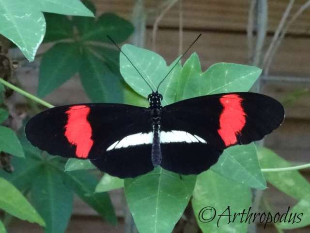 tropique_du_papillon_blog_arthropodus13