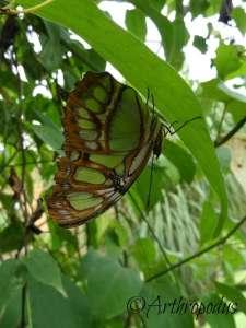 tropique_du_papillon_blog_arthropodus14