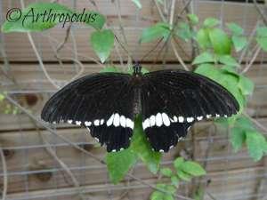 tropique_du_papillon_blog_arthropodus15