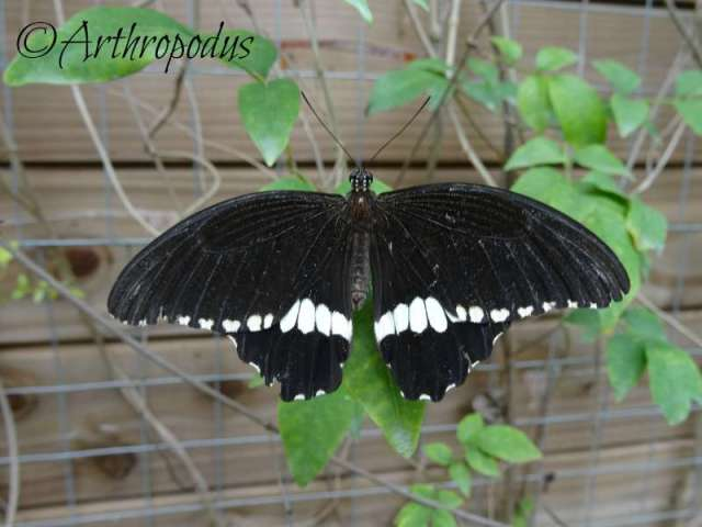 tropique_du_papillon_blog_arthropodus15
