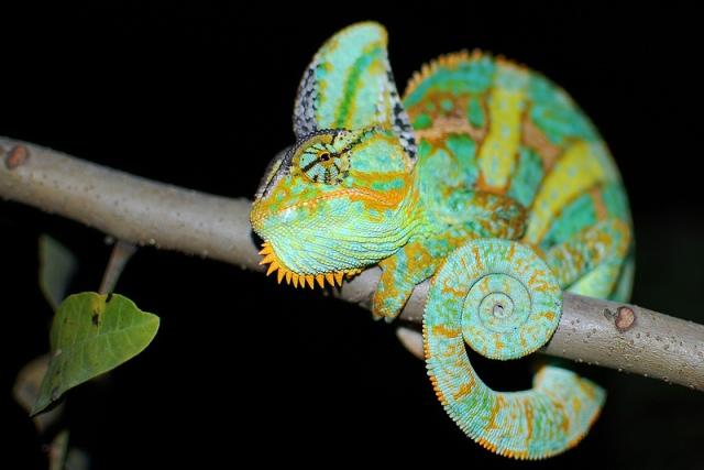 chameleo_calyptratus_blog_arthropodus