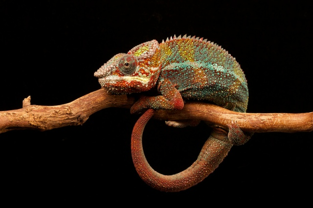 furcifer_pardalis_blog_arthropodus