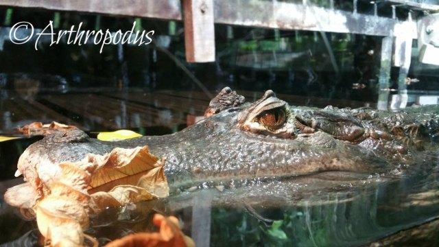 nausicaa2_caiman_crocodilus
