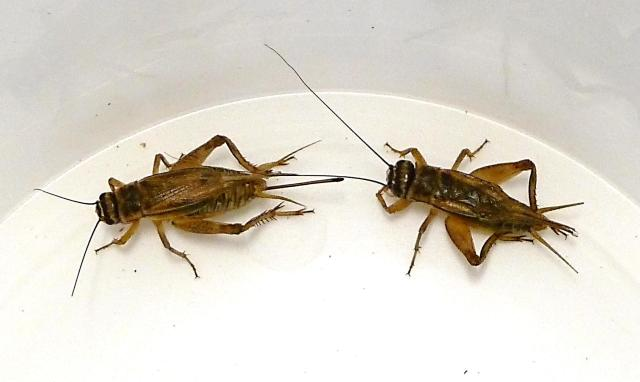 Male-and-female-house-cricket
