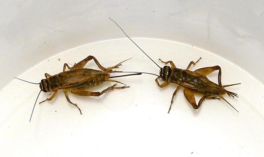Male-and-female-house-cricket.jpg