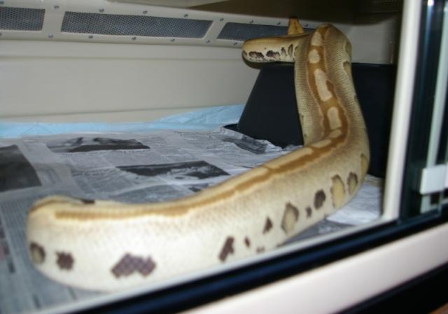 fiche-d-elevage-des-blood-pythons-python-brongersmai-stull-1938-p-breitensteini-steindachner-1881-groupe-curtus_blog_arthropodus_09