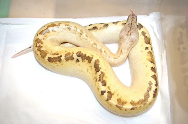 fiche-d-elevage-des-blood-pythons-python-brongersmai-stull-1938-p-breitensteini-steindachner-1881-groupe-curtus_blog_arthropodus_10