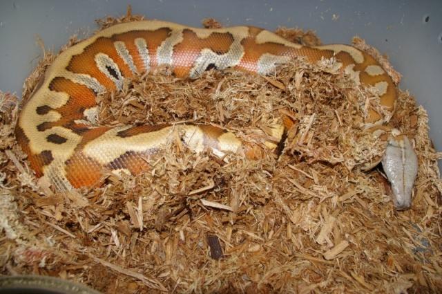 fiche-d-elevage-des-blood-pythons-python-brongersmai-stull-1938-p-breitensteini-steindachner-1881-groupe-curtus_blog_arthropodus_13