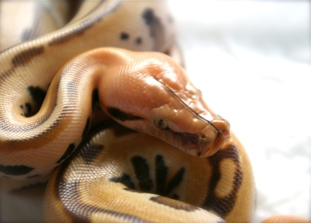 fiche-d-elevage-des-blood-pythons-python-brongersmai-stull-1938-p-breitensteini-steindachner-1881-groupe-curtus_blog_arthropodus_17
