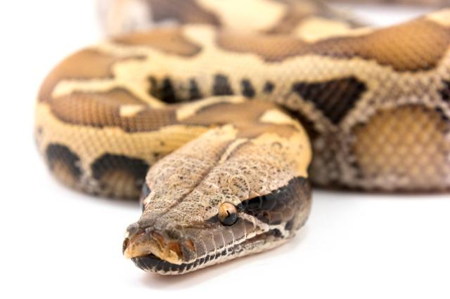 fiche-d-elevage-des-blood-pythons-python-brongersmai-stull-1938-p-breitensteini-steindachner-1881-groupe-curtus_blog_arthropodus_19