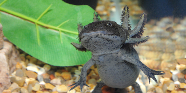 axolotl_ambystoma_mexicanum_1_blog_arthropodus