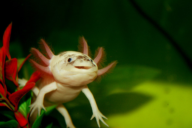 axolotl_ambystoma_mexicanum_2_blog_arthropodus