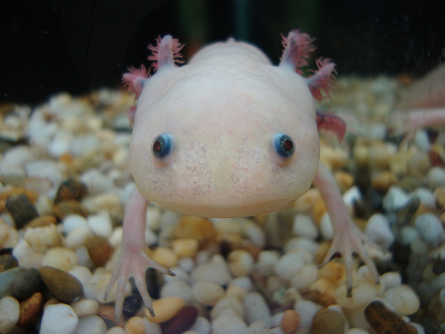 axolotl_ambystoma_mexicanum_3_blog_arthropodus.jpg