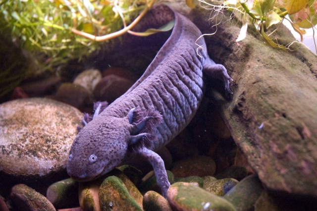 axolotl_ambystoma_mexicanum_4_blog_arthropodus.jpg