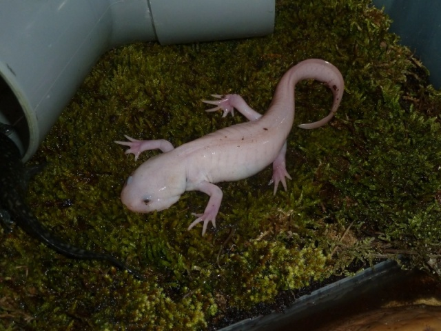 axolotl_ambystoma_mexicanum_9_blog_arthropodus.jpg