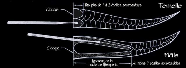 python_regius_python_royal_blog_arthropodus_10.png