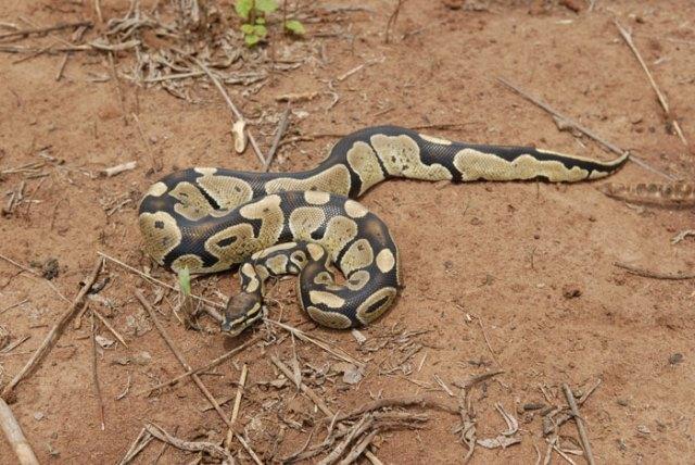 python_royal_python_regius_blog_arthropodus_12