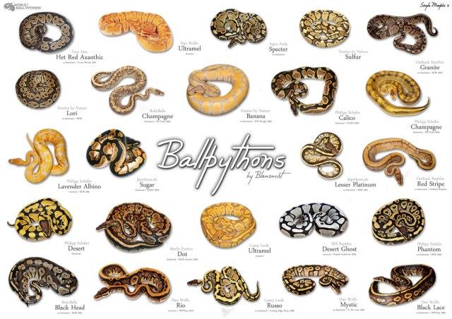 python_royal_python_regius_blog_arthropodus_13.jpg