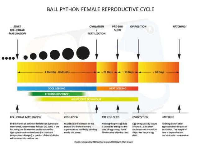 python_royal_python_regius_blog_arthropodus_14.jpg