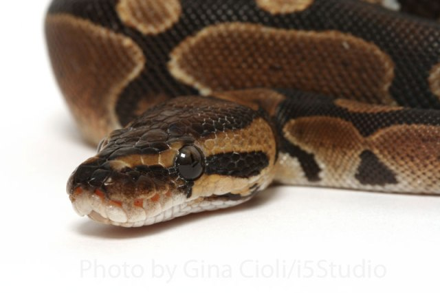 python_royal_python_regius_blog_arthropodus_2