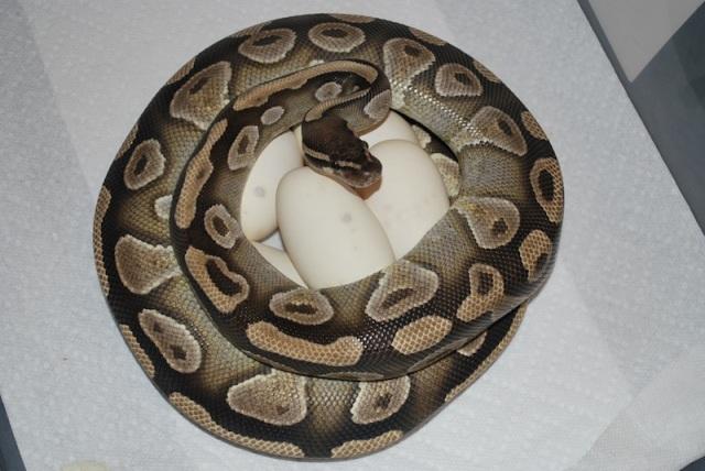 python_royal_python_regius_blog_arthropodus_7