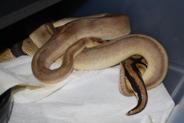python_royal_python_regius_blog_arthropodus_8
