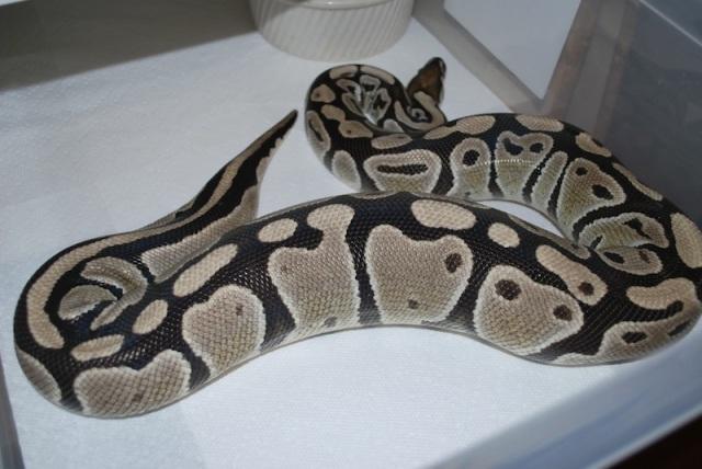 python_royal_python_regius_blog_arthropodus_9
