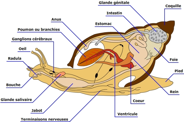 anatomie_escargot_achatine_blog_arthropodus