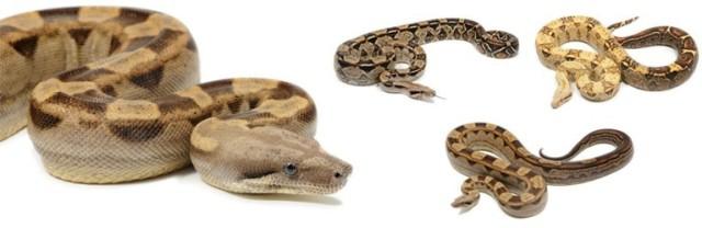 boa-constrictor-ssp_blog_arthropodus