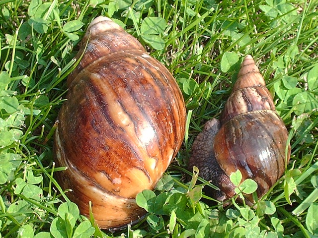 difference_archachatina_marginata_lissachatina_fulica_blog_arthropodus
