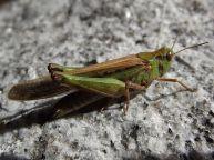 L. migratoria vert (phase solitaire) ©Wikipedia
