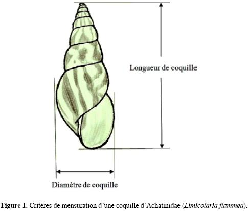 mesure_coquille_escargot_blog_arthropodus