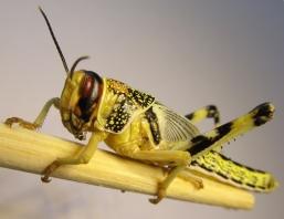 S. gregaria juvénile ©Wikipedia