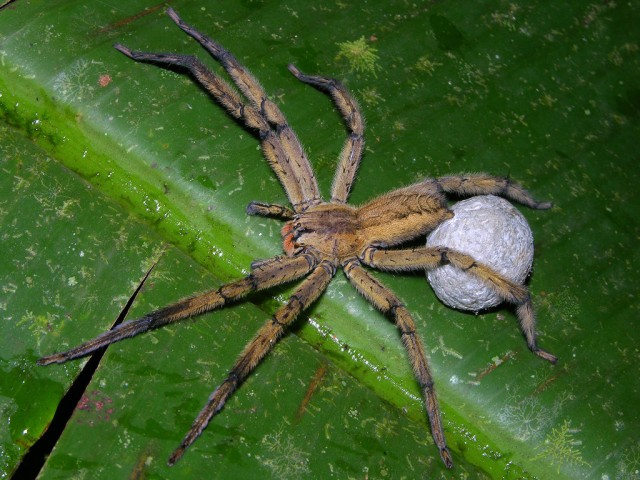 cupiennius_sp_panama_blog_arthropodus_1