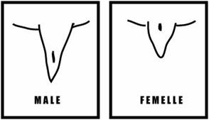 dimorphisme-sexuel-pelomedusa_subrufa_sexage_blog_arthropodus