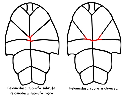 identification-pelomedusa-subrufa-nigra-olivacea_blog_arthropodus