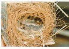 Oisillons au nid