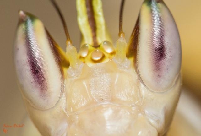 orchid_mantis_mante_orchidee_hymenopus_coronatus_blog_arthropodus_3