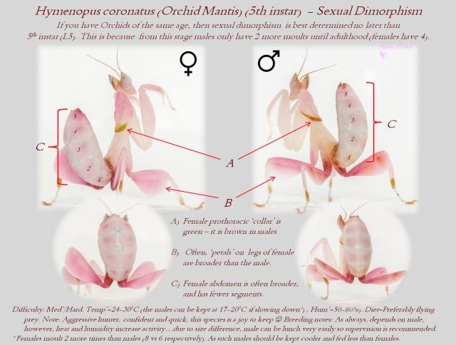orchid_mantis_mante_orchidee_hymenopus_coronatus_blog_arthropodus_5