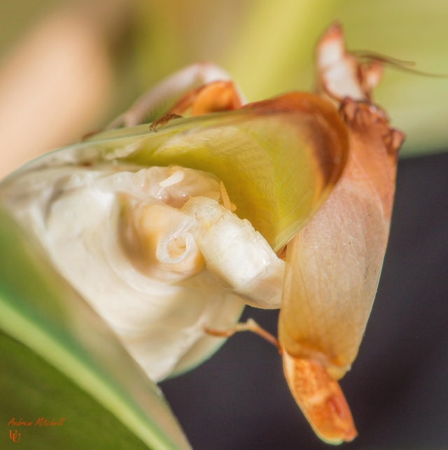 orchid_mantis_mante_orchidee_hymenopus_coronatus_blog_arthropodus_8