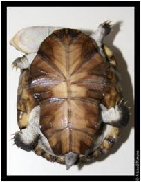 P. s. nigra