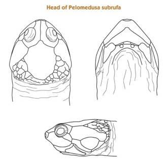 Pelomedusa_subrufa_pelomeduse_blog_arthropodus_4