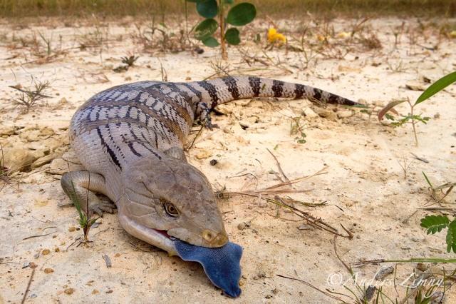 tiliqua-scincoides-scinque-a-langue-bleue-blue-tong-skink-blog-arthropodus_9