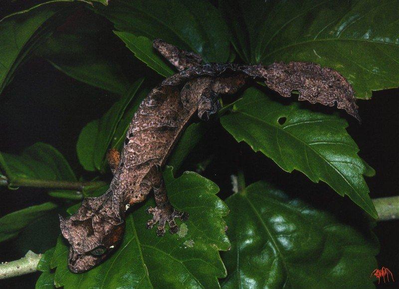Les bases pour l'élevage des lézards du genre Uroplatus (Dumeril ...
