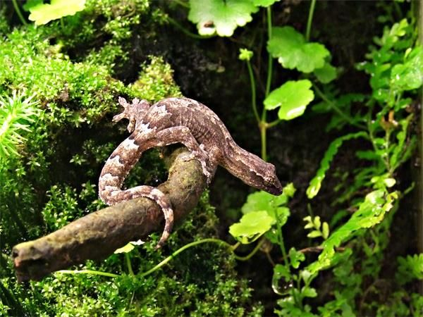 lepidodactylus-lugubris-terrarium_blog_arthropodus