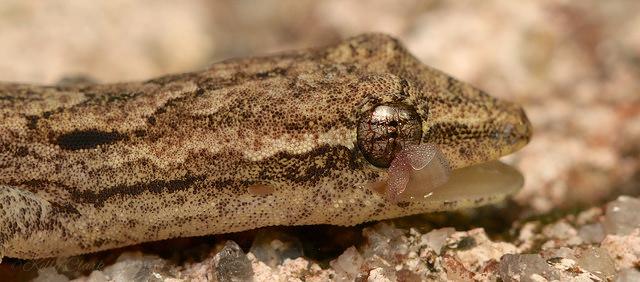 lepidodactylus_lugubris_tete_blog_arthropodus