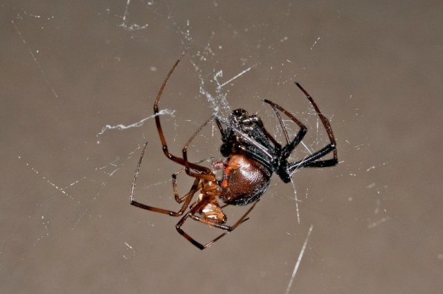 accouplement_latrodectus_hesperus_blog_arthropodus